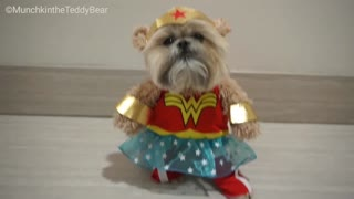 Munchkin the Teddy Bear is Wonder Woman! - Video