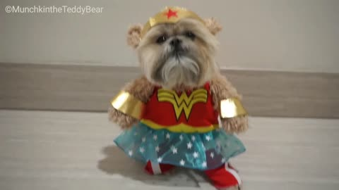 Munchkin the Teddy Bear is Wonder Woman!