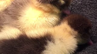 Ducklings just want to sleep - Video