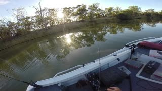 Murray Cod Swallows Large duck 2015 - Video