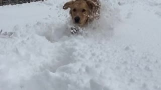 Golden retriever dog runs in the snow  - Video