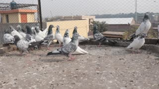 pigeons are Playing inside their home