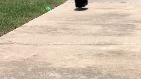 Toy squeaked black dog comes running