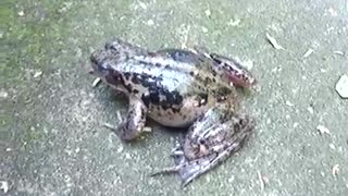 Screaming frog  - Video