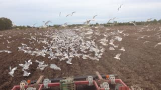Farming Free Range Seagulls - Video
