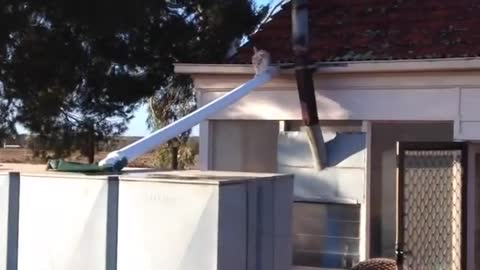 Small Calico Cat Loses Balance And Falls Off The Roof
