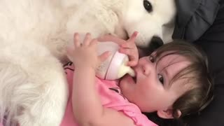 Loving samoyed preciously cuddles with cute baby - Video