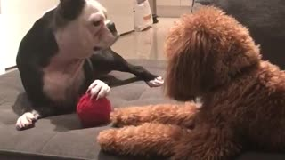 Dog not liking when other dog tries taking ball