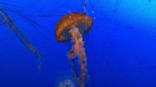Jellyfish swimming by.  - Video