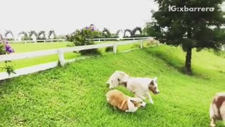 Three large dogs jumps over white fence in backyard - Video