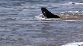Seal Sighting on the Beach - Video