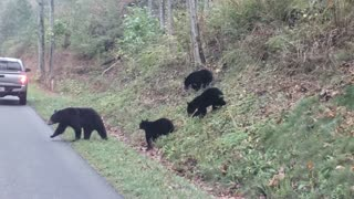 Mama Bear and Cubs Cross a Road in Tennessee