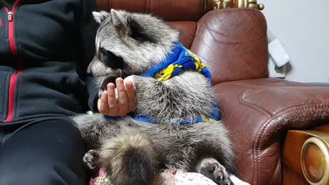 Raccoon sits on the couch and gently holds hands with their mothers and eats pork belly.