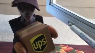 Chihuahua dresses as UPS employee, adorably delivers mail - Video