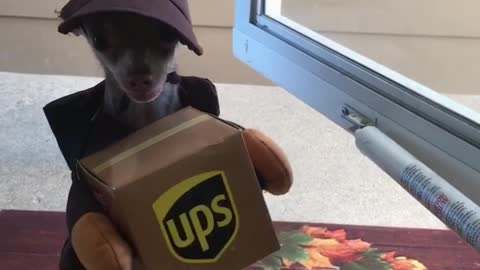 Chihuahua dresses as UPS employee, adorably delivers mail