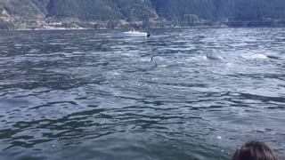 Boaters Caught in Middle of Orca Whales Hunting a Sea Lion - Video