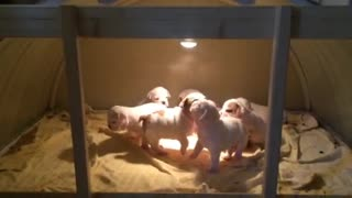 Litter Of Bulldog Puppies Delightfully Enjoy Playtime Together - Video