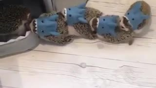 Small kids Hedgehog playing Music chairs - Video