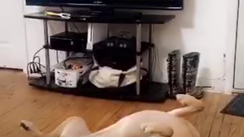 Dog plays dead living room