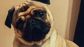 Various Funny Pug Faces  - Video