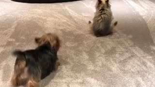Yorkie dogs get overly excited for the weekend - Video