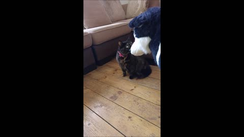 Misha the Tortie cat is not impressed when introduced to a cuddly toy Border Collie!