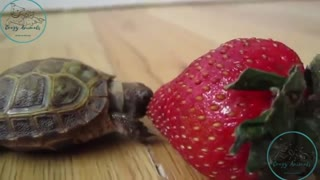 baby turtle eating strawberry bigger than him