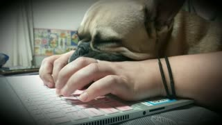 French Bulldog Naps On Keyboard While Owner Does Homework