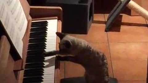 Music-loving cat plays the piano