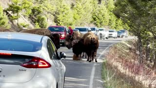 Tired Baby Bison Calf Stops Traffic in Yellowstone
