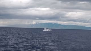 Humpback whale calf practices breaching