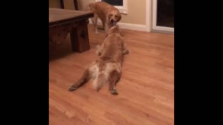 Golden Retriever refuses to let go of toy, gets dragged across floor