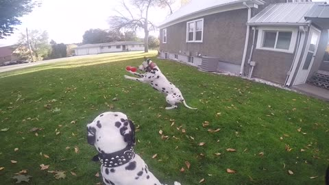 Dalmatian makes awesome catch!
