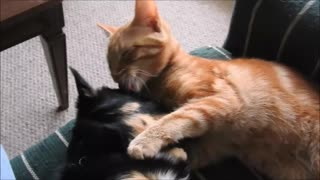 Cat loves his Puppy brother. - Video