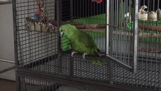 Hilarious! Parrot Meows Like A Cat!