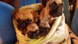 Cuddle Time With A Pug Family