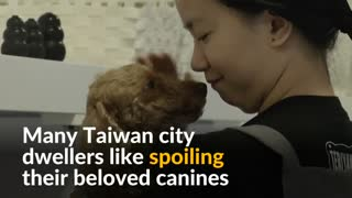 Taiwanese dogs get royal treatment with pooch massages - Video