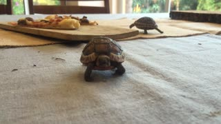 Baby Tortoise takes a liking to the camera - Video