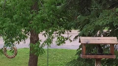 Squirrel makes crazy long jump just to get some seeds