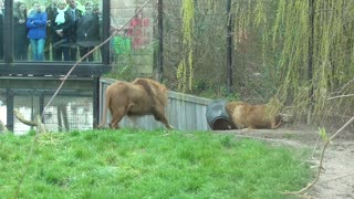 Lion Gets Head Stuck In Feeding Barrel At Zoo - Video