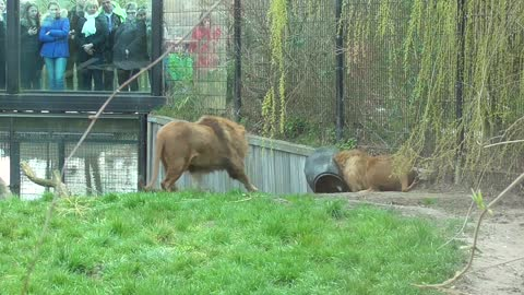 Lion Gets Head Stuck In Feeding Barrel At Zoo