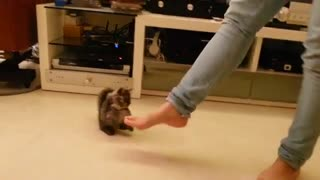 Tiny Kitten Adorably Dances With Her Owner - Video