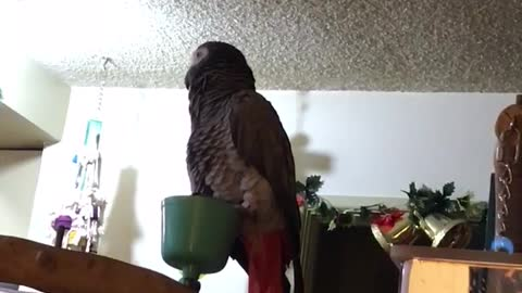 African grey talks and makes sounds
