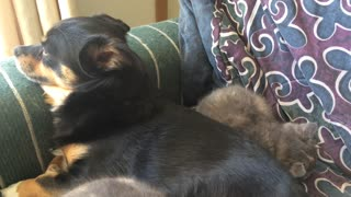Puppy napping with his Kittens  - Video