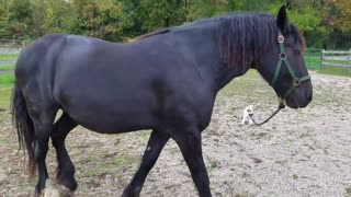 Adorable puppy leads horse around - Video
