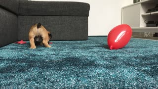 Balloon pop by puppy Chop  - Video