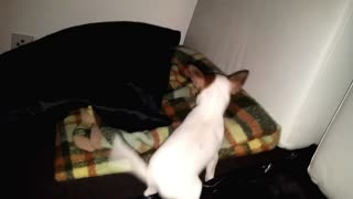 chihuahua dog puppy surprise another puppie cute - Video