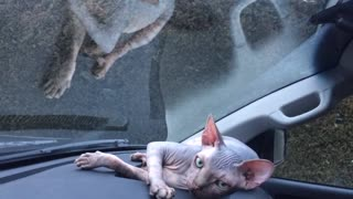 Sphynx kitten fascinated by windshield wipers