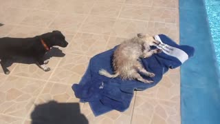Dog uses towel to dry himself - Video