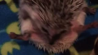 Hedgehog adorably struggles to uncurl himself